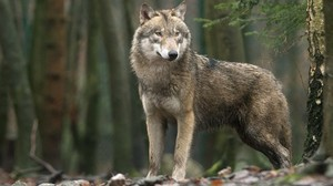 Wolf tappt in Unterfranken in Fotofalle